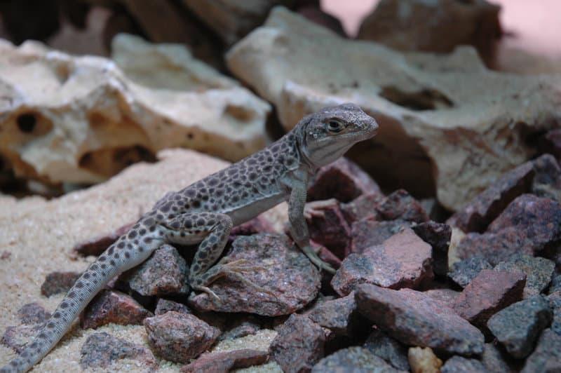 Für Leopardleguane müssen Terrarianer ein Wüstenterrarium einrichten. Copyright: WZF/Hoch