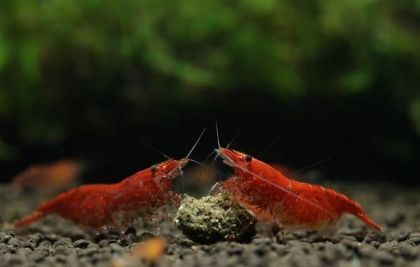 Garnelenbecken: Futterstelle säubern 1