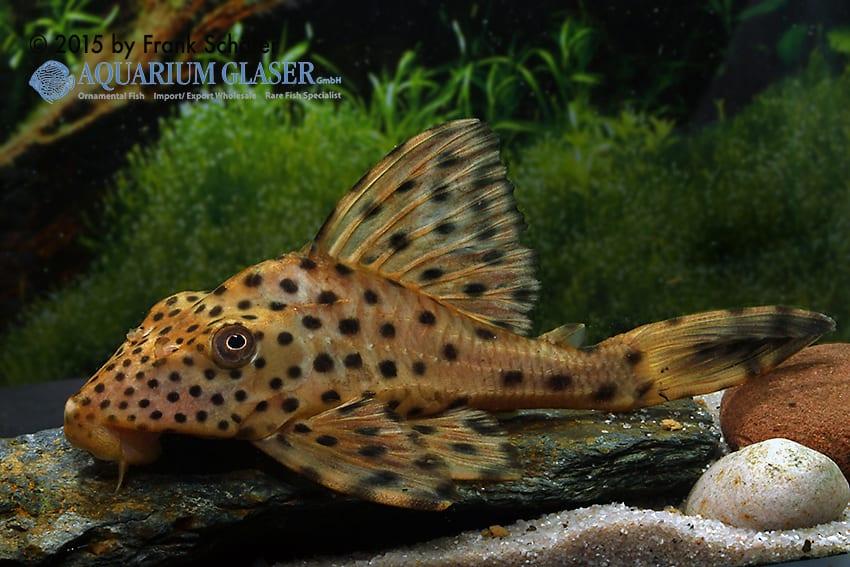 Cochliodon sp. L 167 - Demini-Cochliodon 2