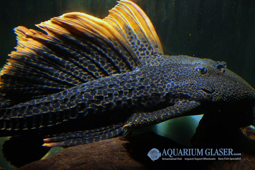 Pseudacanthicus leopardus 4