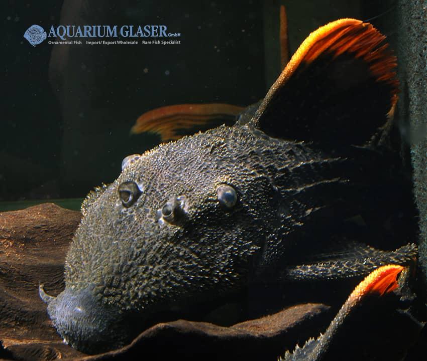 Pseudacanthicus leopardus 2