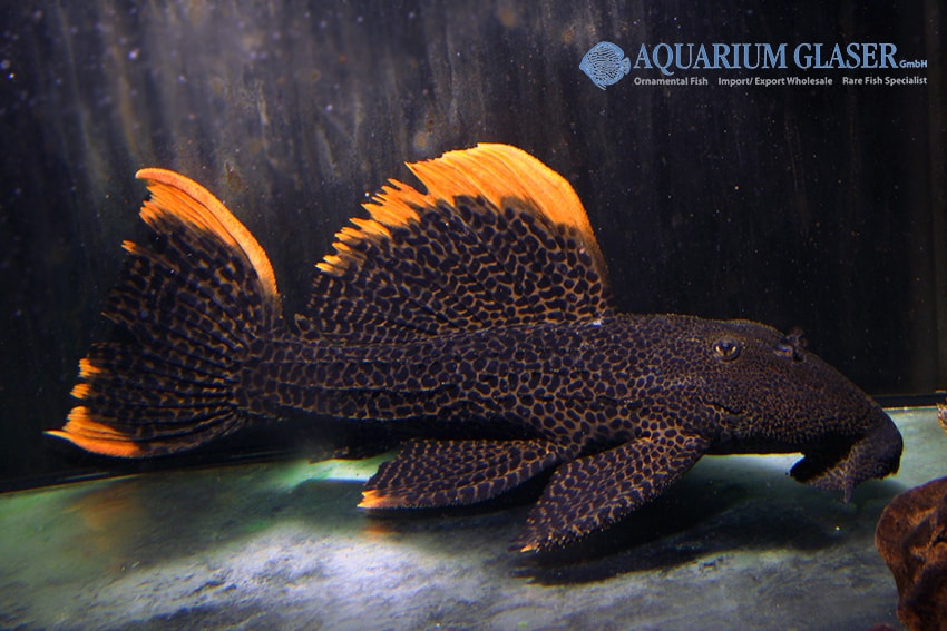 Pseudacanthicus leopardus 1