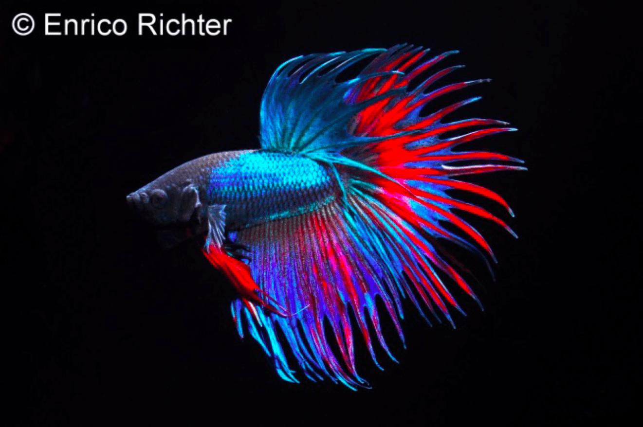 Betta splendens - Siamesischer Kampffisch 23