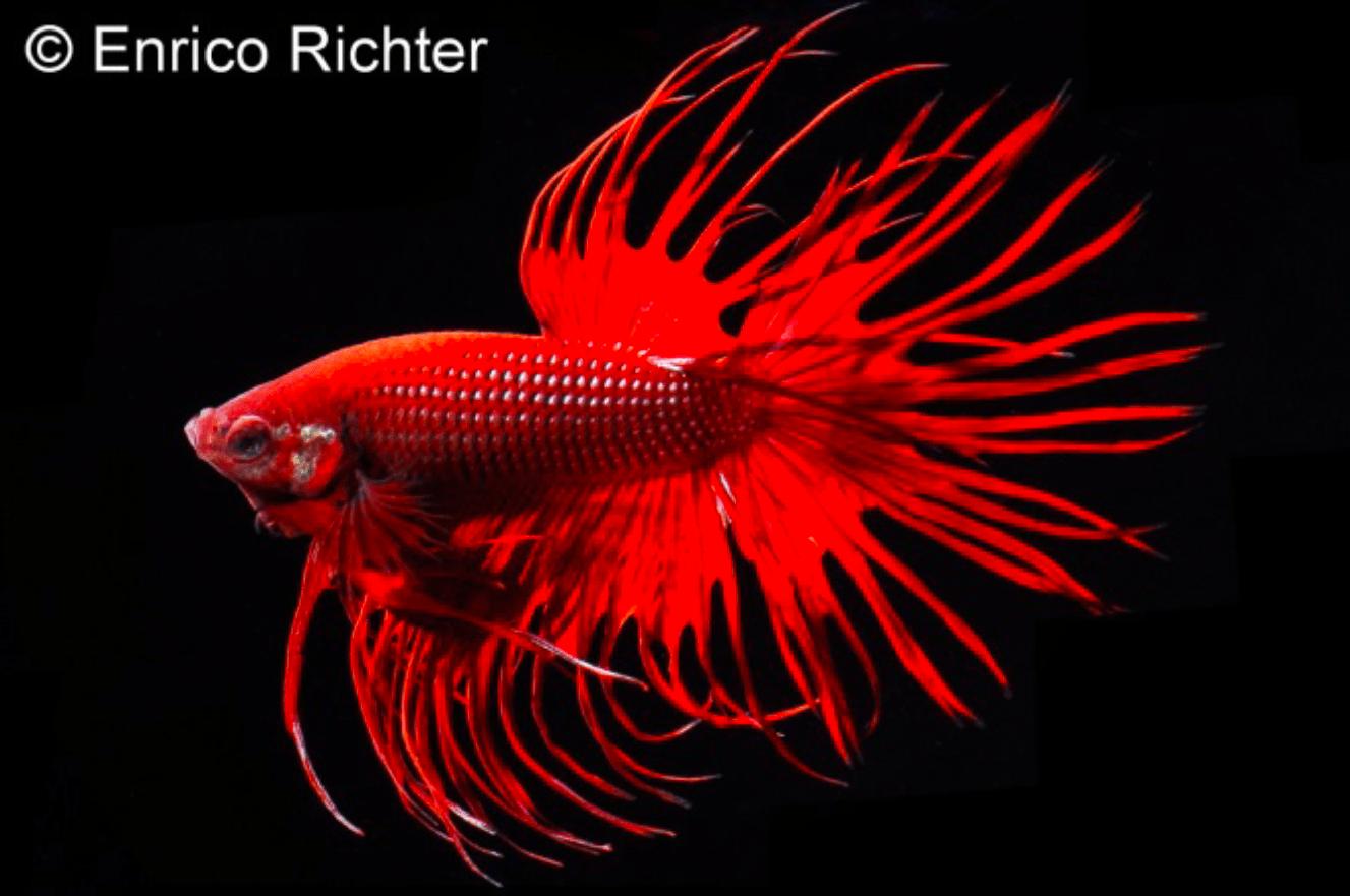 Betta splendens - Siamesischer Kampffisch 22