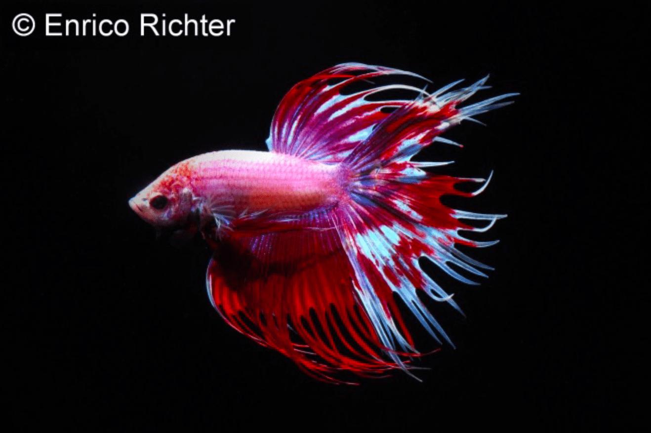 Betta splendens - Siamesischer Kampffisch 21