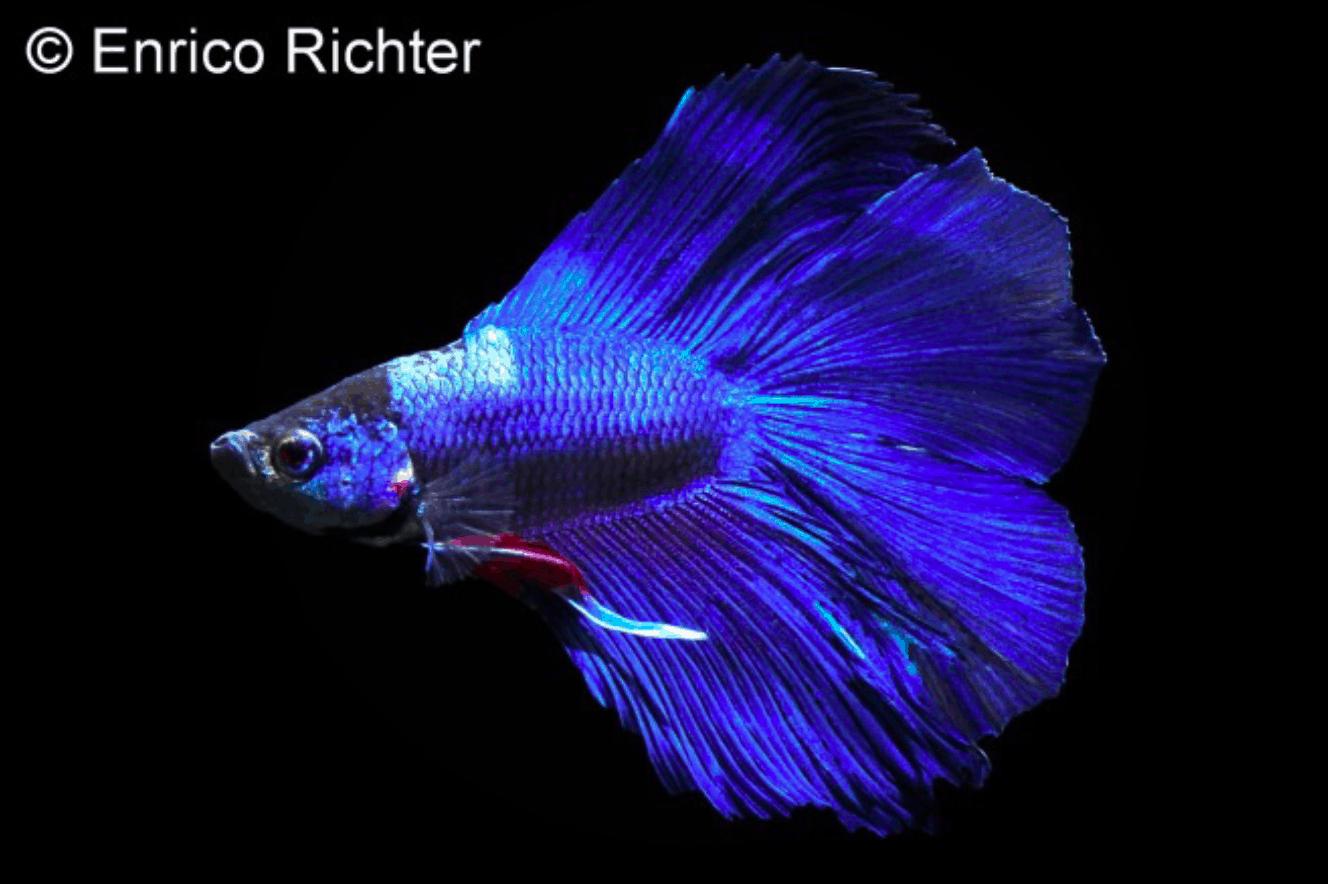 Betta splendens - Siamesischer Kampffisch 20