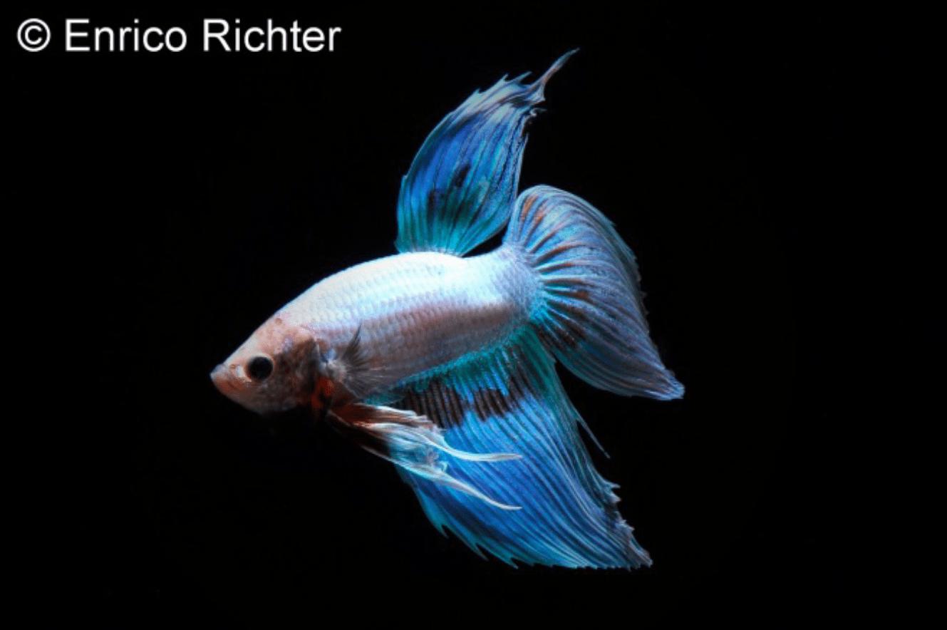 Betta splendens - Siamesischer Kampffisch 19
