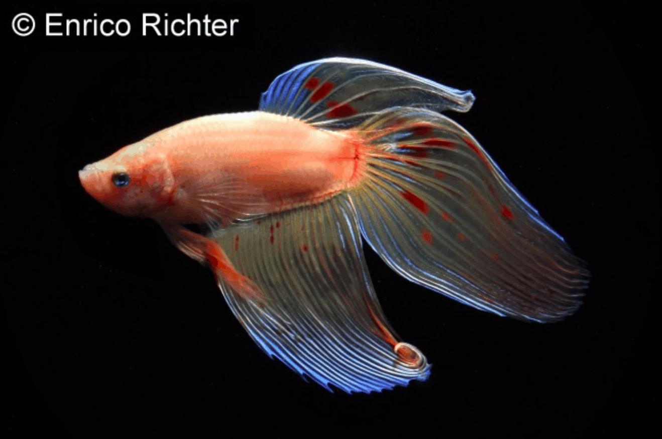 Betta splendens - Siamesischer Kampffisch 18
