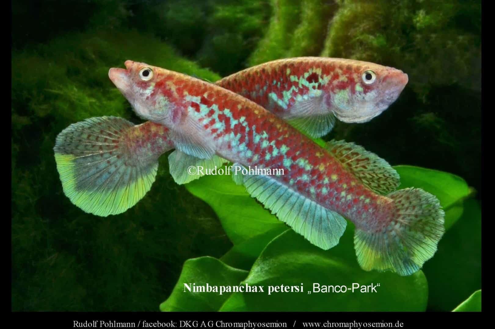 Nimbapanchax petersi 2