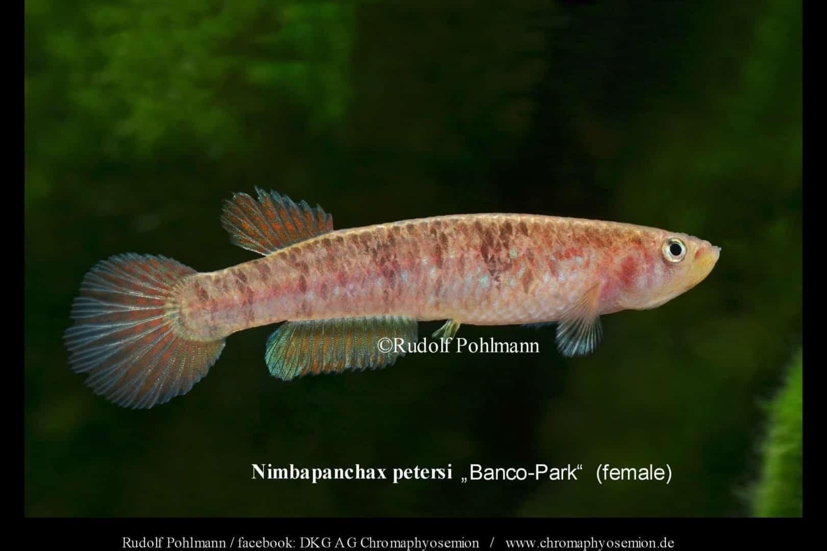 Nimbapanchax petersi 1