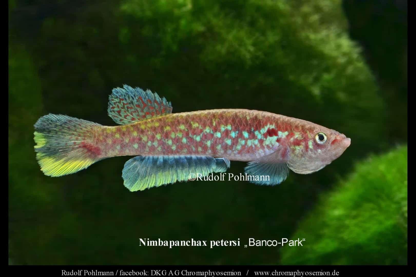 Nimbapanchax petersi 4