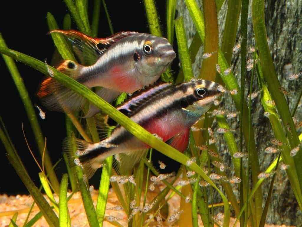 Pelvicachromis pulcher - Purpurprachtbuntbarsch 5