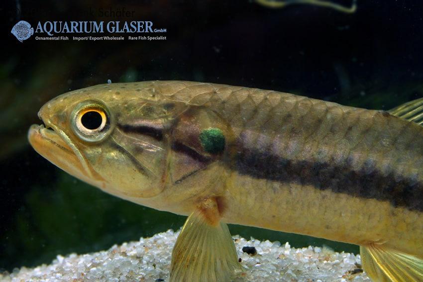 Hoplerythrinus unitaeniatus - Längsband-Raubsalmler 2