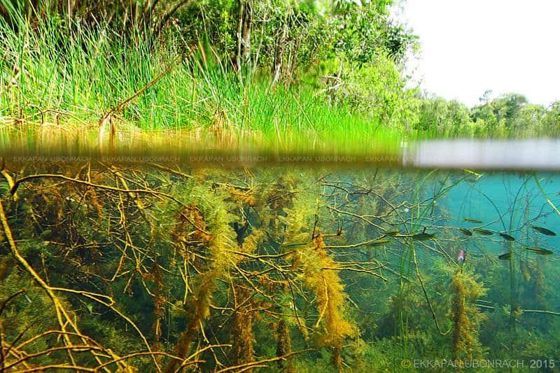 Rasbora sp. / Natural Habitat / Thailand.Foto: Ekkapan Ubonrach