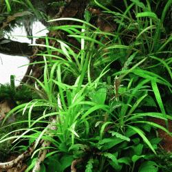 Helanthium tenellum ´Broad Leaf´ 1