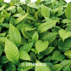Anubias heterophylla - Verschiedenblättriges Speerblatt 1