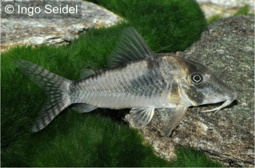 Corydoras-simulatus-Imitator-Schwarzr?ckenpanzerwelse.png