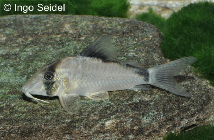 Corydoras-simulatus-Imitator-Schwarzr?ckenpanzerwelse2.png