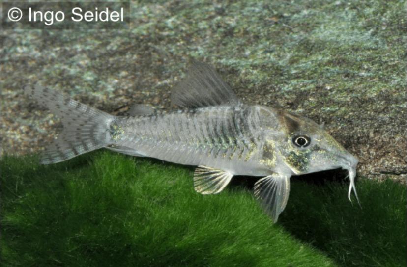 Corydoras simulatus - Imitator-Schwarzr?ckenpanzerwelse - my-fish