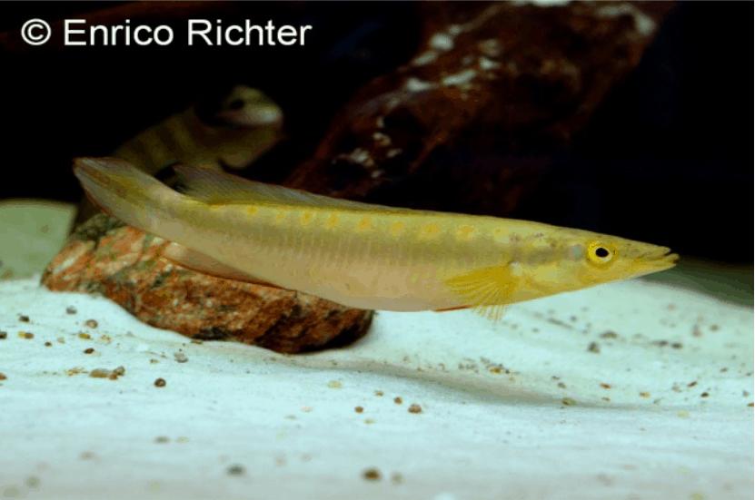 Crenicichla acutirostris - Spitzkopf-Hechtbuntbarsch 1