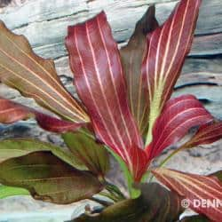 Echinodorus Dschungelstar Nr. 15 - Schwertpflanze 'Simply Red' 3
