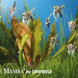 Echinodorus Dschungelstar Nr. 16 - Schwertpflanze 'Rote Mamba' 1
