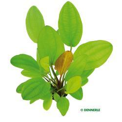 Echinodorus Dschungelstar Nr. 16 - Schwertpflanze 'Rote Mamba' 2