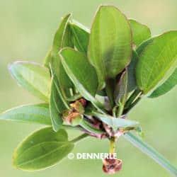 Echinodorus cordifolius Harbich Rot - Harbichs rötlicher Froschlöffel 3