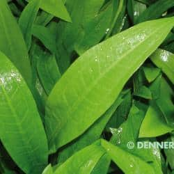 Echinodorus grisebachii ´Parviflorus´ - Schwarze Amazonas Schwertpflanze 1