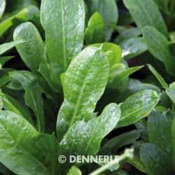 Echinodorus grisebachii ´Tropica´ - Samolus Schwertpflanze 4
