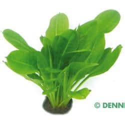 Echinodorus grisebachii ´Tropica´ - Samolus Schwertpflanze 2