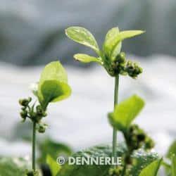Echinodorus grisebachii ´Tropica´ - Samolus Schwertpflanze 1