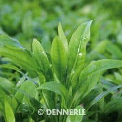 Echinodorus grisebachii Amazonicus - Schmalblättrige Amazonasschwertpflanze 1