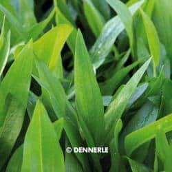 Echinodorus spec. 136 - Langgestielte Schwertpflanze 1