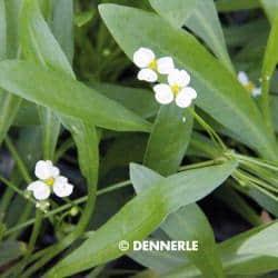 Helanthium bolivianum ´Latifolius´- Zwerg Schwertpflanze 2