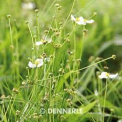 Helanthium tenellum - Grasartige Zwerg Schwertpflanze 1