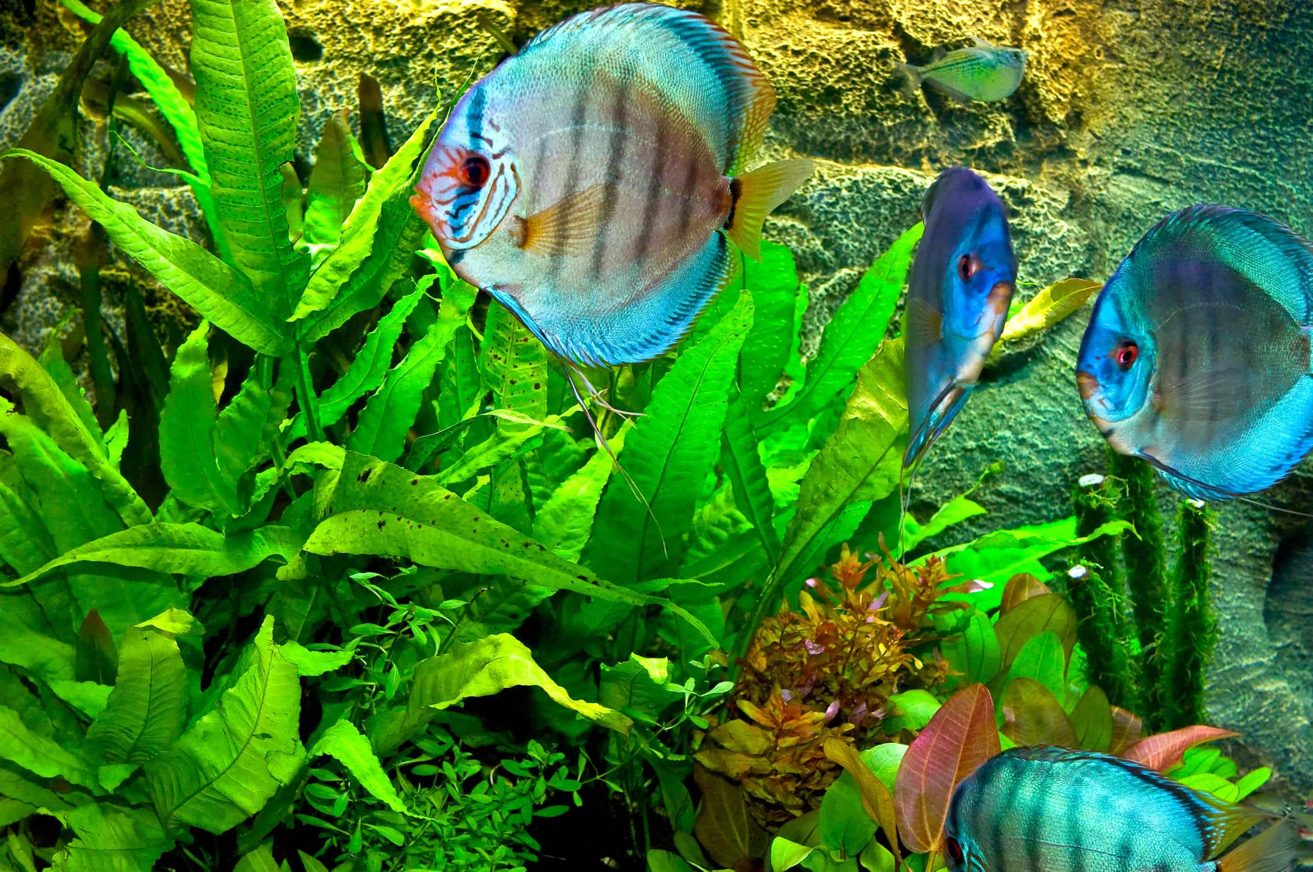 vielfalt im aquarium so klappt es mit der vergesellschaftung my fish. Black Bedroom Furniture Sets. Home Design Ideas