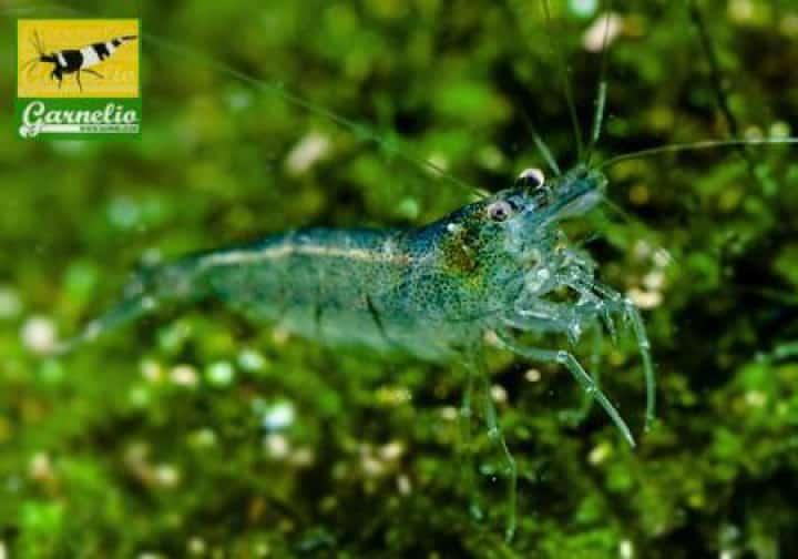 Caridina parvidentata - Sulawesi Inlandsgarnele 2