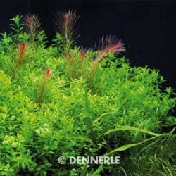 Hemianthus glomeratus - Zierliches Perlkraut 1