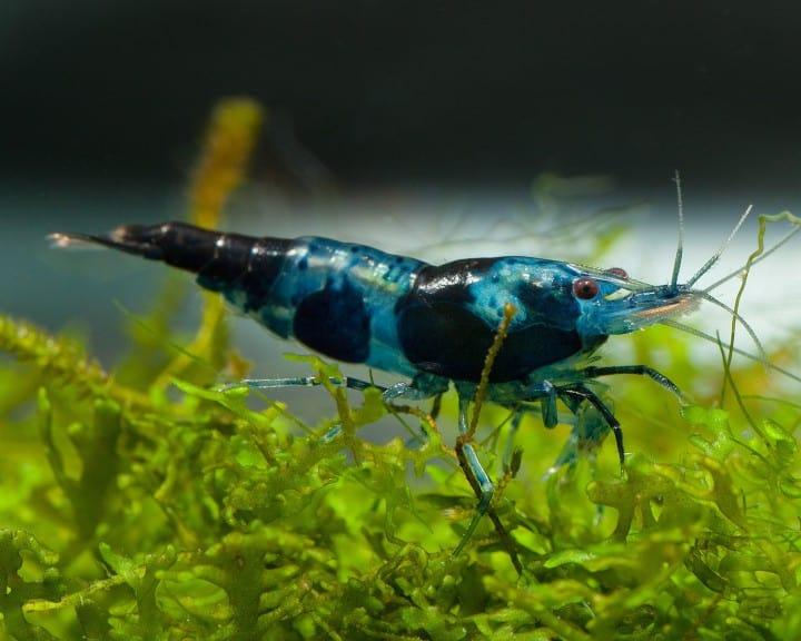 Neocaridina davidii - Blue/Black Rili Sakura Garnele 3