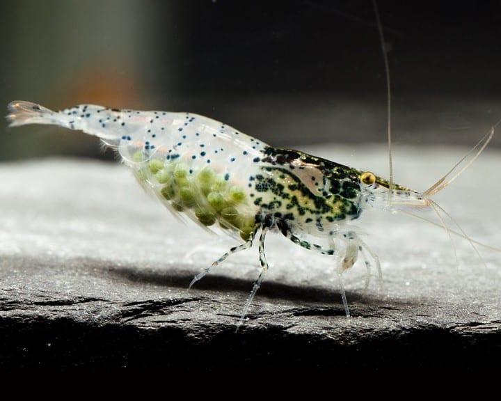 Neocaridina davidi (heteropoda) - Carbon Rilli Shrimp 2