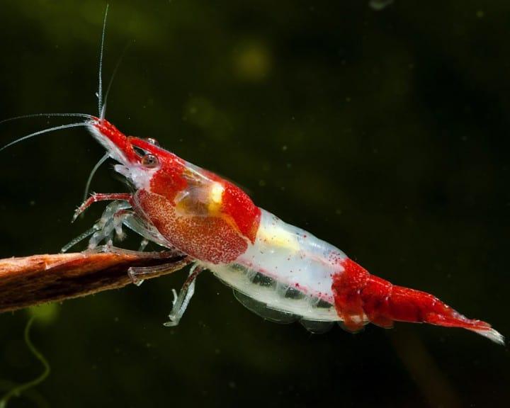 Neocaridina davidi (heteropoda) - Red Rili Shrimp 3
