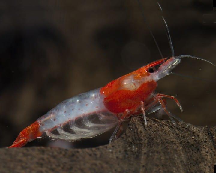 Neocaridina davidi (heteropoda) - Red Rili Shrimp 1