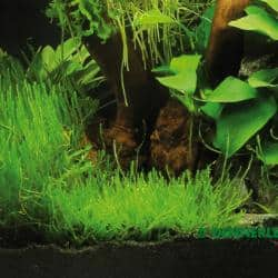 Taxiphyllum spec. Triangelmoos 1