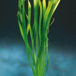 Vallisneria australis ´Gigantea´- Riesen - Sumpfschraube 2