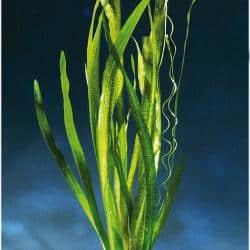 Vallisneria australis ´Marmor´- Marmorierte Riesen - Sumpfschraube 1