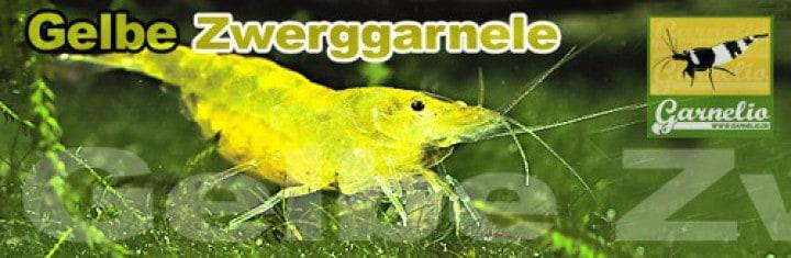 Neocaridina davidi (heteropoda) - Yellow Fire Garnele 2