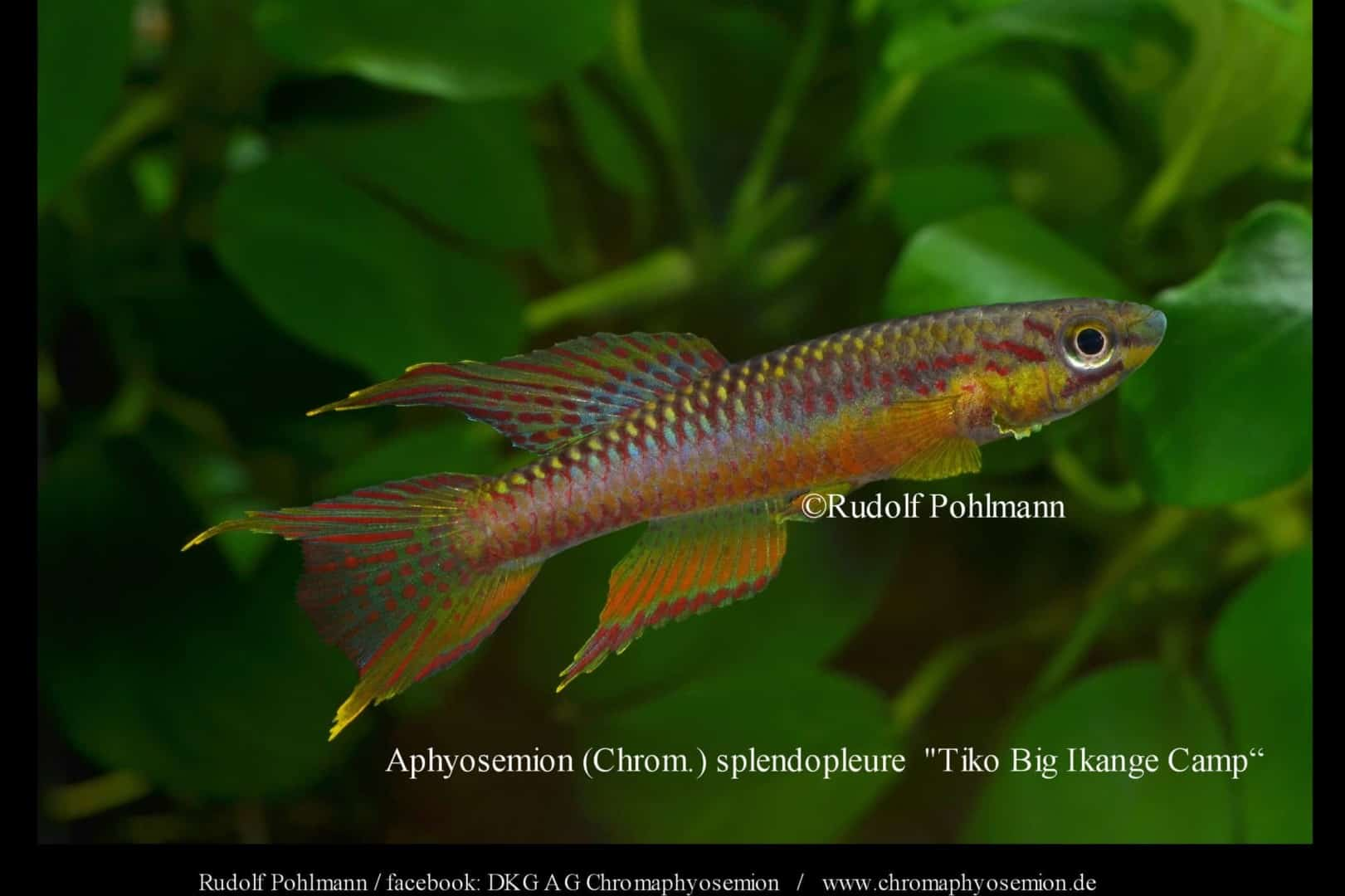 Aphyosemion (Chromaphyosemion) splendopleure – Splendopleure Zweistreifen-Prachtkärpfling 9