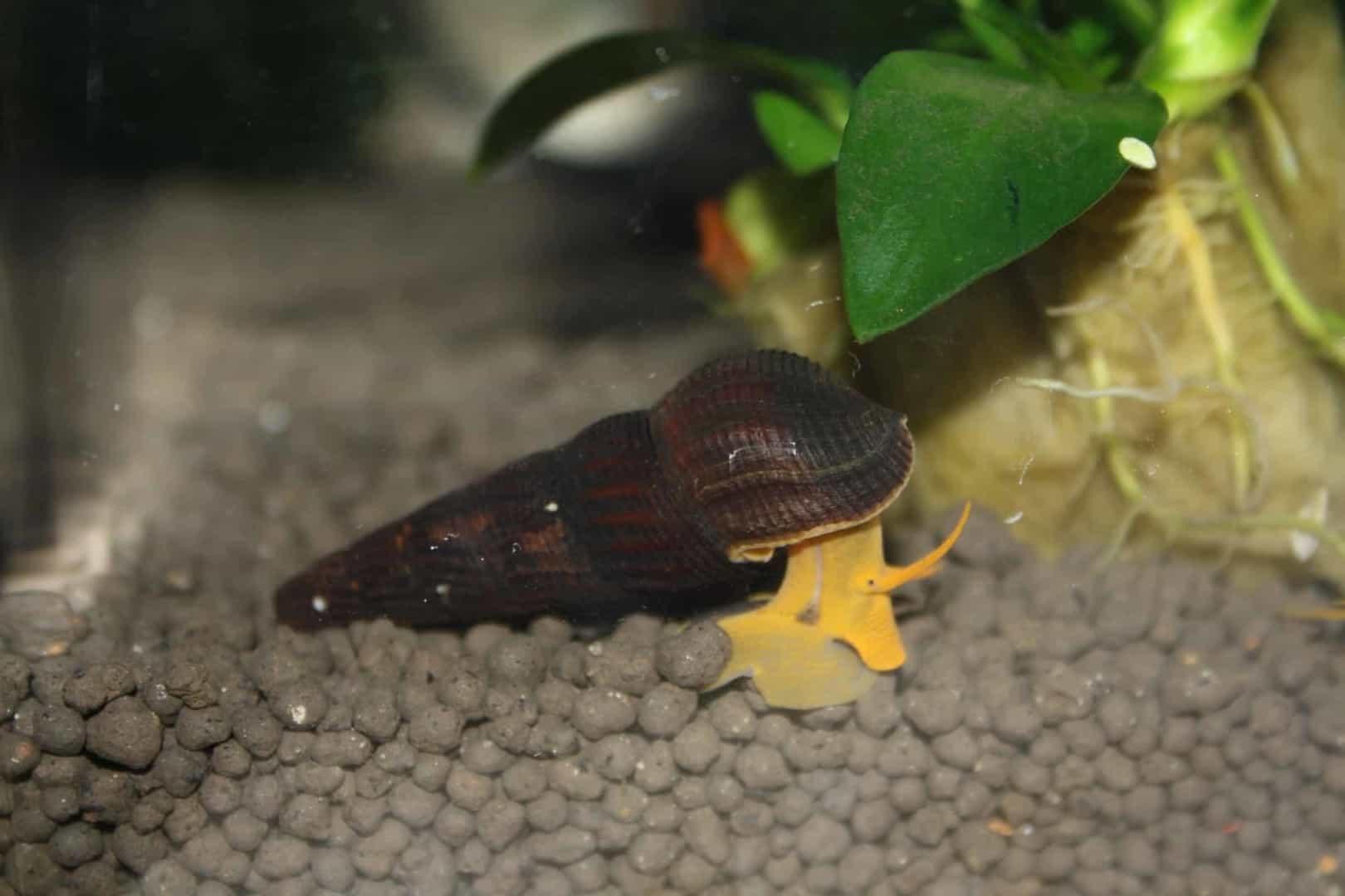 "Tylomelania sp. ""Orange"" - Orange Turmdeckelschnecke 4"