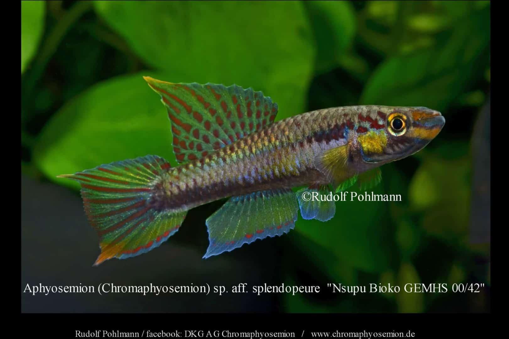 Aphyosemion (Chromaphyosemion) splendopleure – Splendopleure Zweistreifen-Prachtkärpfling 1